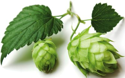 What Are Noble Hops?